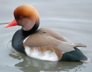 pochard bird