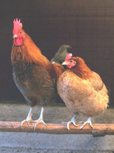 a male and female chicken