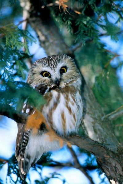 Petite Nyctale Northern Saw-wet Owl