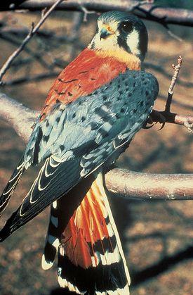 American Kestrel (a falcon)
