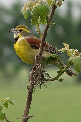 Dickcissel bird