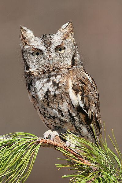 Eastern Screetch-owl