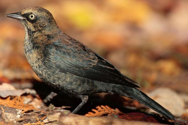 Rusty Blackbird - blame him for bringing you all these bird quotes