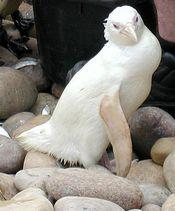 Albino African Penguin: Ever seen one?