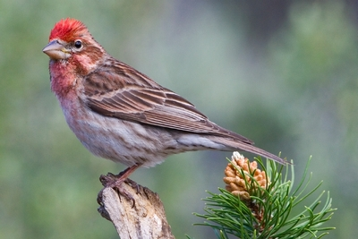 Cassins Finch (male): Have you seen this bird?