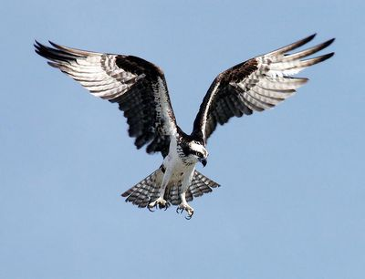Osprey: Have you seen this bird?