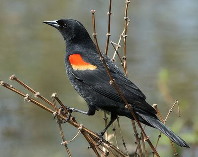 Red-winged Blackbird - Have you seen this bird?