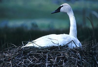 Trumpeter Swan: Have you seen this bird?