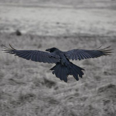 Common Raven: Have you seen this bird?