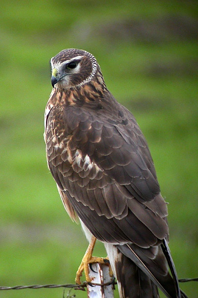 Northern (hen) Harrier: Have you seen this bird?