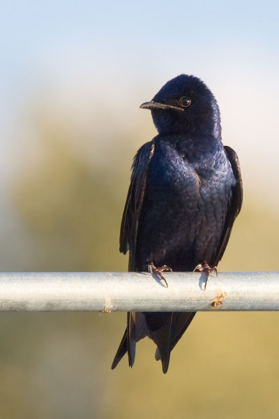 Purple Martin: Have you seen this bird?