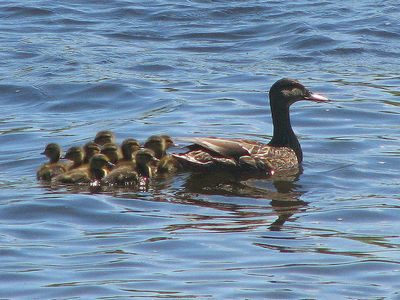 Black Duck female with ducklings