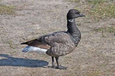 Brant Goose or Brent Goose