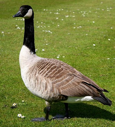 Canada Goose: Have you seen this bird?