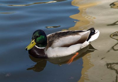Mallard: Have you seen this bird?