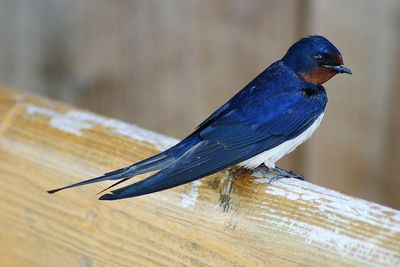 Barn Swallow: Have you seen this bird?