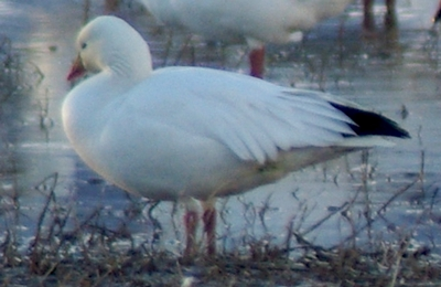 Ross's Goose: Have you seen this bird?