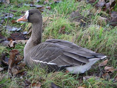 White-fronted Goose: Have you seen this bird?