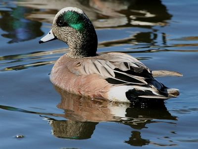 American Wigeon male (drake): Have you seen this bird?