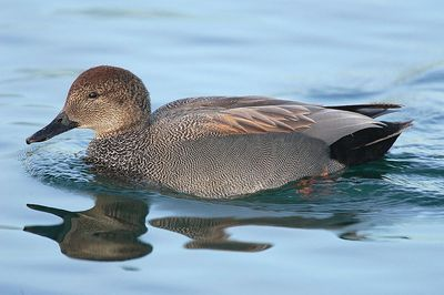 Gadwall (male): Have you seen this bird?