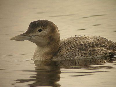Juvenile Yellow-billed Loon: Have you seen this bird?
