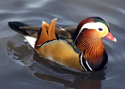 Mandarin duck: Have you seen this bird?