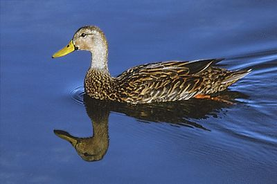 Mottled Duck: Have you seen this bird?
