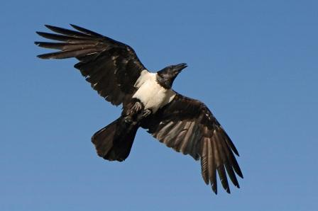 Pied Crow:  Have you seen this bird?
