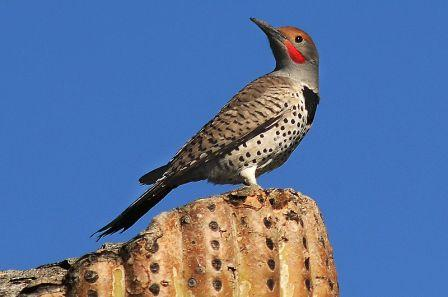 Gilded Flicker: Have you seen this bird?