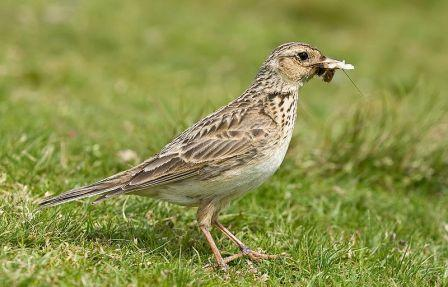 Skylark: Have you seen this bird?