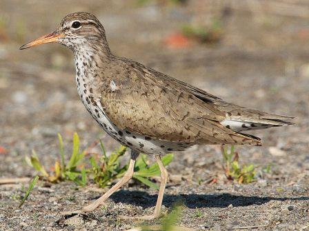 Spotted Sandpiper (Actitis macularia): Have you seen this bird?