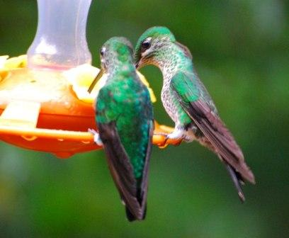 Two Hummingbirds: Have you seen any in your garden?