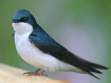 Tree Swallow: Have you seen this bird?