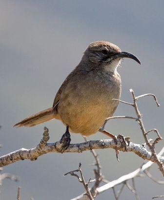 California Thrasher: Have you seen this bird?