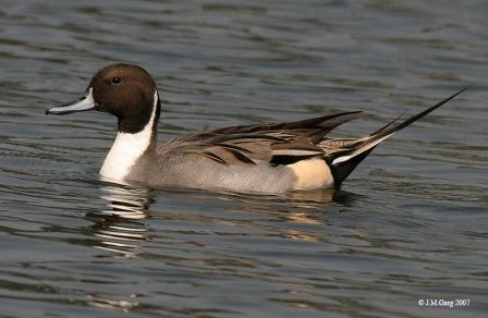 Northern Pintail (Male): Have you seen this bird?