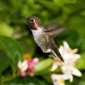 Anna&#039;s Hummingbird: Have you seen this bird?