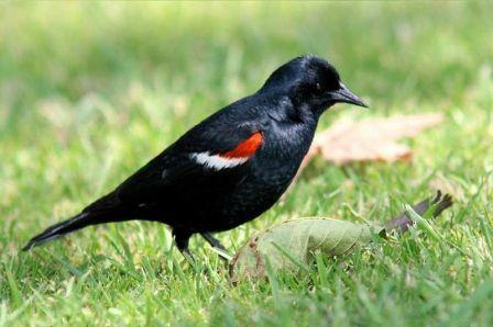 Tricolored Blackbird: Have you seen this bird?