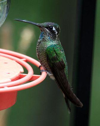 Blue-throated Hummingbird: Have you seen this bird?