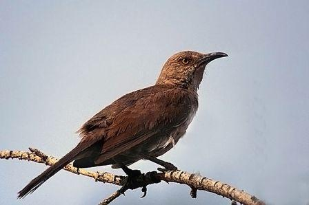 Curve-billed Thrasher: Have you seen this bird?