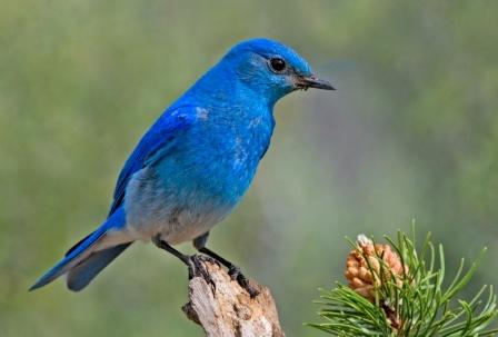 Mountain Bluebird: Have you seen this bird?
