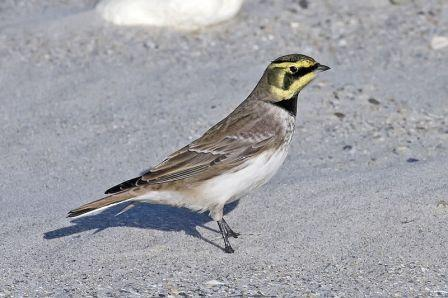 Horned Lark/Shore Lark: Have you seen this bird?