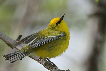 Blue-winged_Warbler: Have you seen this bird?