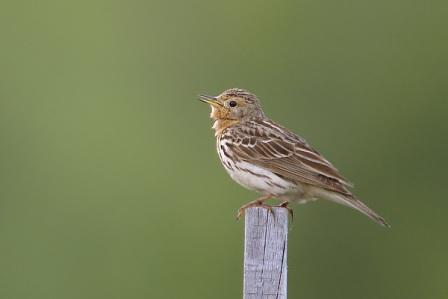 Red-throated Pipit: Have you seen this bird?