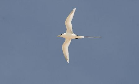 White-tailed Tropicbird: Have you seen this bird?