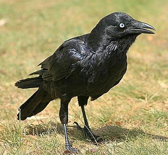 Corvus mellori little raven