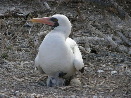 Nazca Booby: Have you seen this Booby lately?