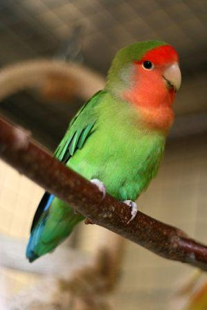 Peach-faced Lovebird 2011