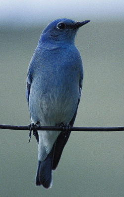 bluebird quote - Mountain Bluebird