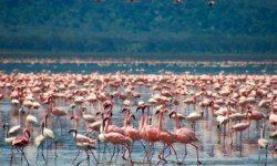 flamingos in Tanzania, Afeica