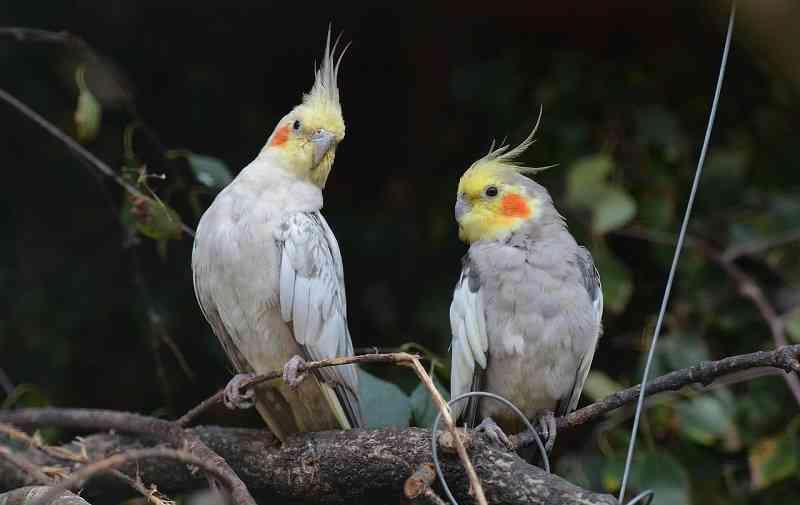 Nymph Parakeets